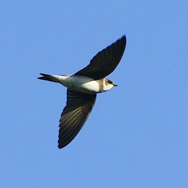 File:Riparia riparia -Markinch, Fife, Scotland -flying-8-4c.jpg
