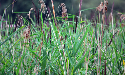 Well camouflaged Reed Warbler