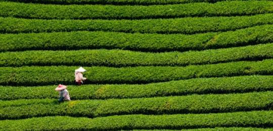 Certified tea is among the commodities to have experience strong market growth.