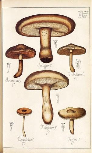 Acerbus, Tabularis, Arenalus, Nebularis, Cuneifolius et Ovinius spp.