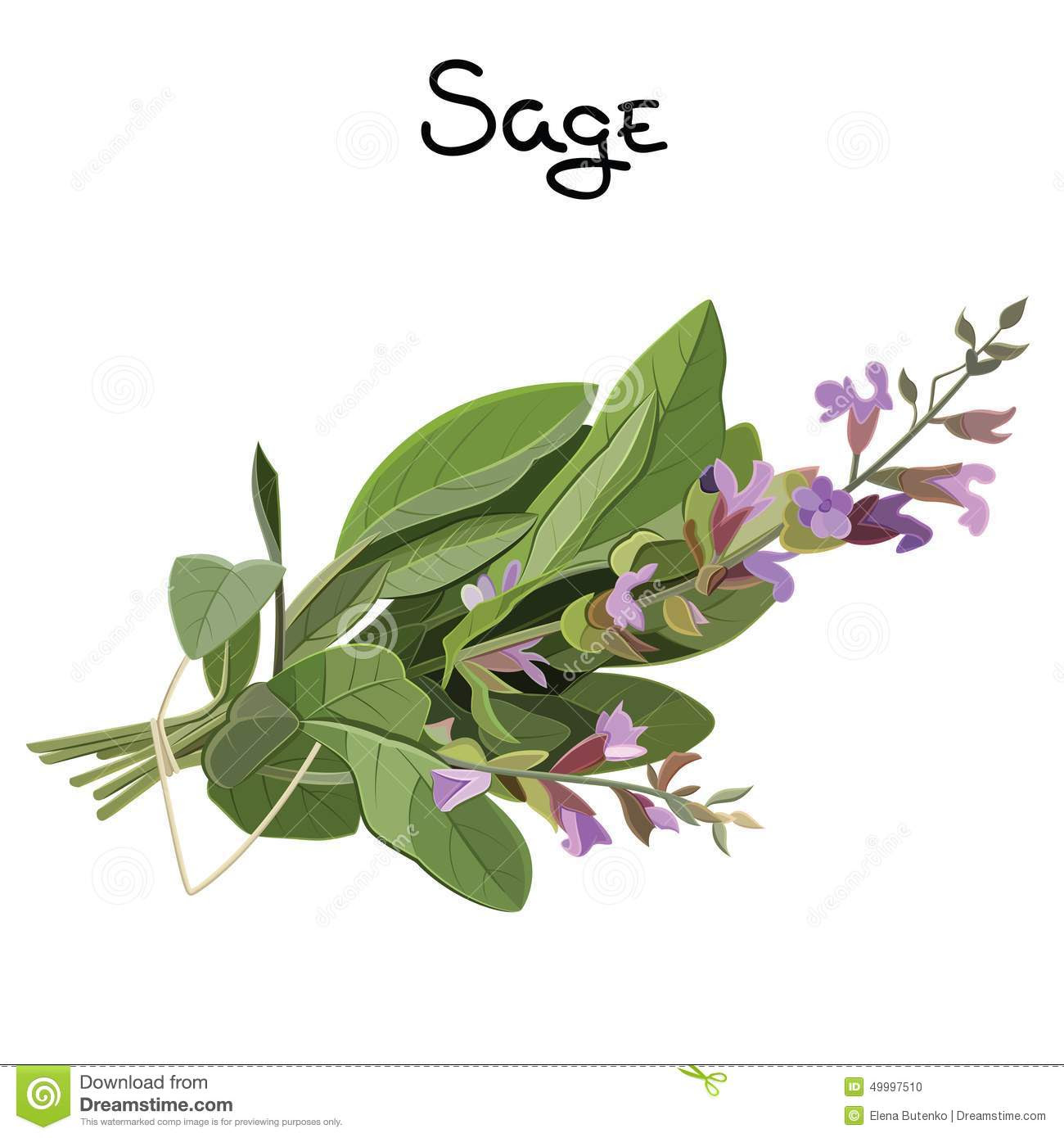 sage herb flowering fresh vector illustration 49997510