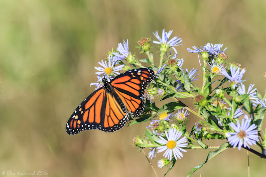 Serendipity and Monarchs