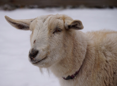 Wintertime Blues and A Sick Goat…Maybe | The Chicken Mama