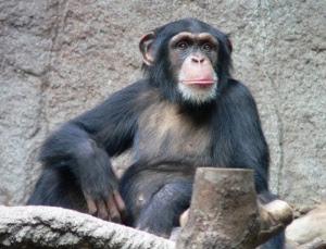 Simpansseille annettiin videoneuvottelulaitteet - suosikkimuusikolla on suunnitelma (800 x 610)
