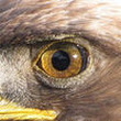 Save Golden Eagles From Marine Aircraft! - The Petition Site