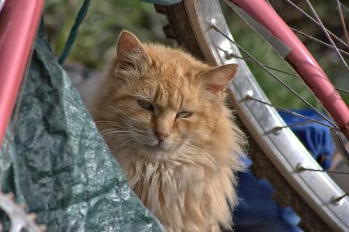Fluffy Buff Tom and Bike Frame