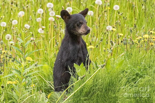 Curious Black Bear Cub