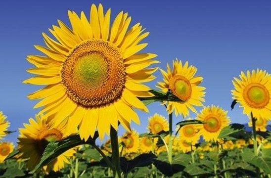 Mewarnai Gambar Bunga Matahari Abi Pinterest