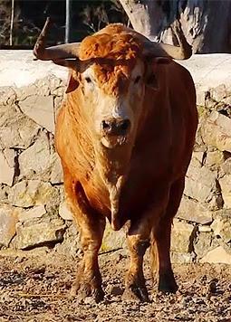 Toro de Cebada
