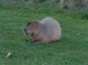 South American capybara found on golf club in Essex   Daily Mail Online
