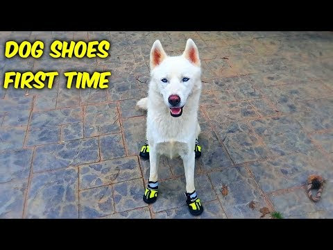 The Evening Post: Huskies Trying Dog Shoes For The First Time