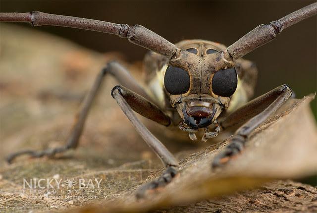 Mango Longhorn Beetle? (Bartocera rubus) - DSC_2080