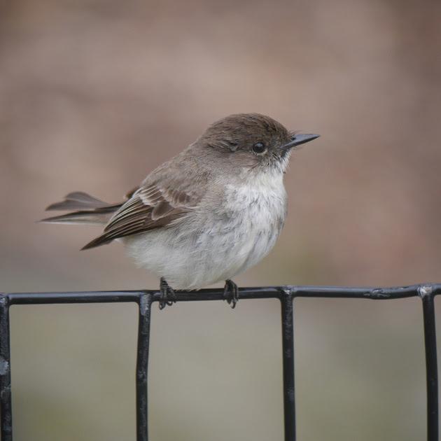 Ed Gaillard: birds &emdash; Eastern Phoebe, Central Park