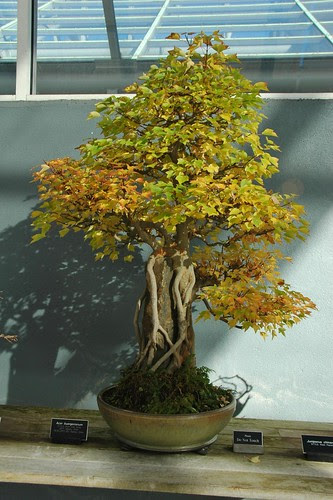 Acer buergerianum, Bonsai, Root over Rock style (Sekijoju) by Stanley Chinn