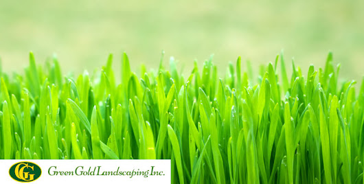Complete Guide to Grass Seeding in Spring - Green Gold Landscaping Inc