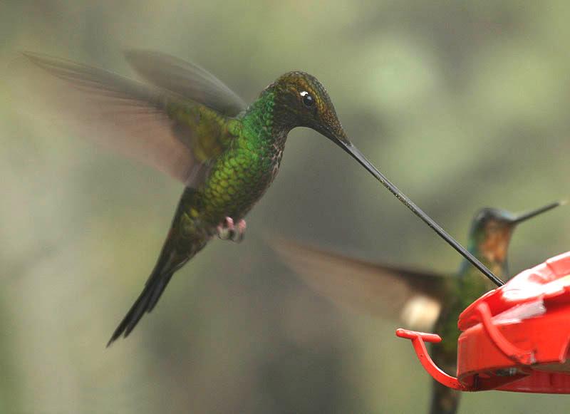 File:Sword-billed Hummingbird (Ensifera ensifera).jpg