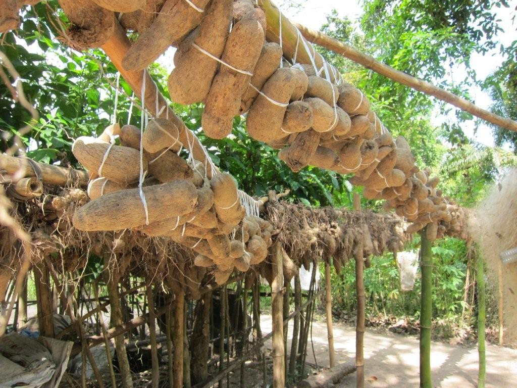 Image result for picture of Igbo yams