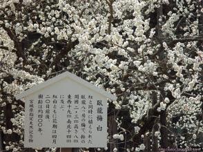 宮城天然紀念物 - 臥龍梅