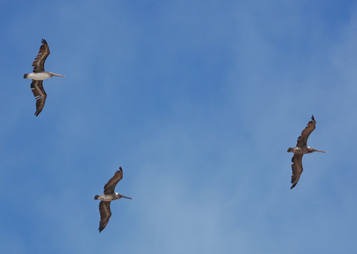 pelicans-over-Pismo-Beach.jpg