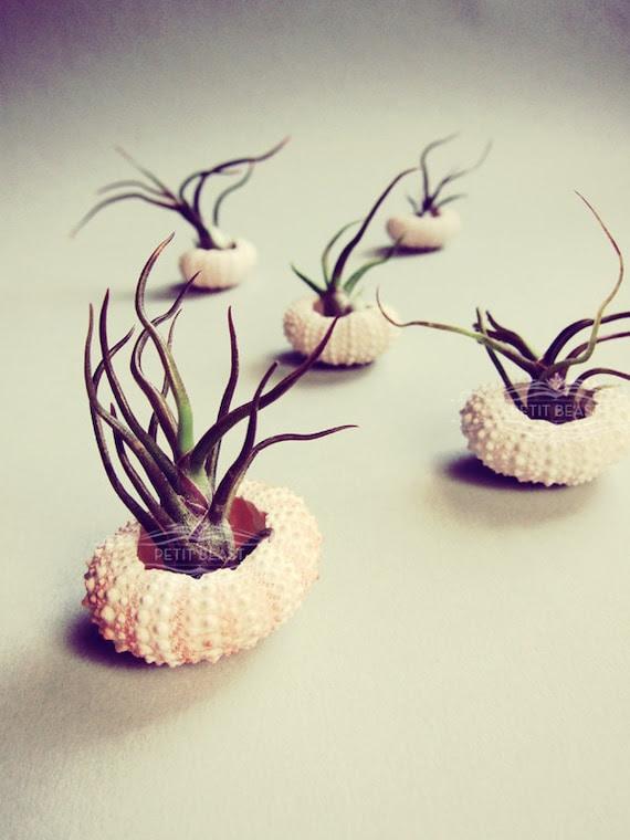Lazy Sun Bathers // Small Air Plant Sea Urchin Wedding Favor Home Decor Gift Kit DIY tiny cute tillandsia exotic plant shell