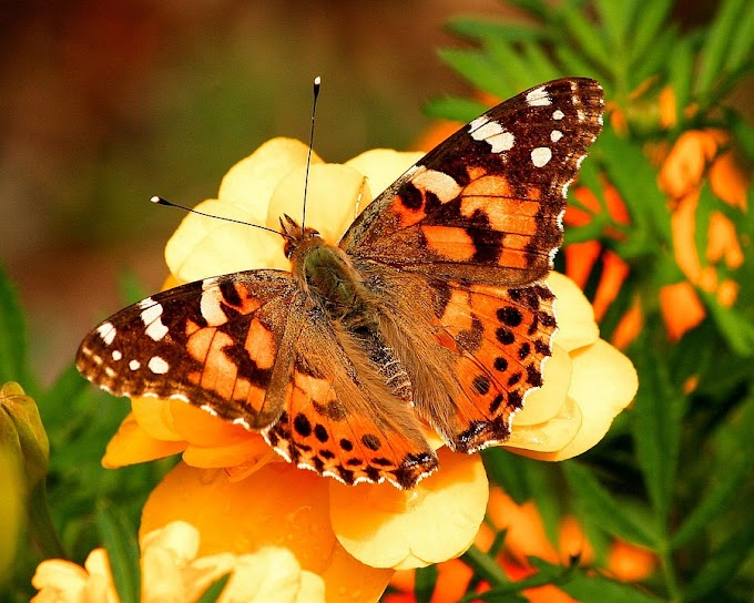 Painted lady butterfly photos