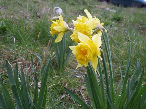 Yellow Flower: Narcís