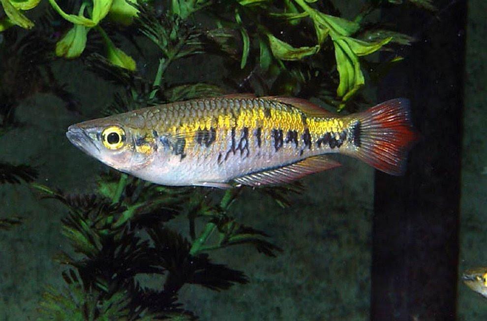 Рыбка Бедоция Мароджеджи
