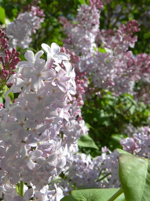 """DSCN3263 """"Skidmore"""" Lilac blooms"""