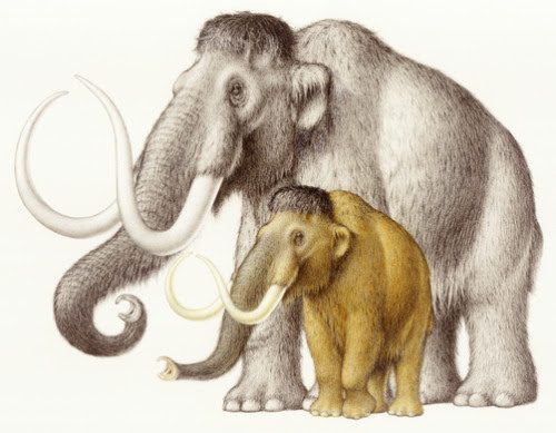 A dwarfed form of the woolly mammoth lived on Wrangel Island (an island off the coast of eastern Siberia) until about 1700 BC, more than 8,000 years after their larger ancestors died off.  Another population lived on St Paul Island off the coast of Alaska. Depicted: A dwarf woolly mammoth compared to a regular-sized woolly mammoth.