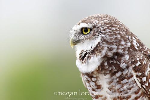 Owl by Megan Lorenz