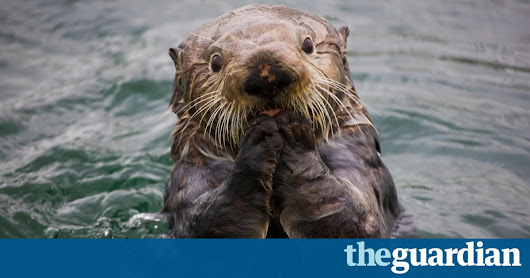 How sea otters help save the planet | Environment | The Guardian