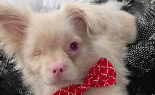 Lucky the One-Eyed Albino Puppy Survives Being Born to a Backyard Breeder