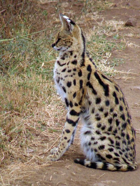 африканская дикая кошка сервал в саванне. фото