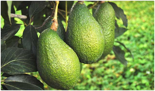 10 Benefits of Avocados | Sugar Watchers | Health Protocols and Provisions