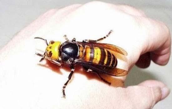 Τα 16 μεγαλύτερα έντομα στον κόσμο (16)
