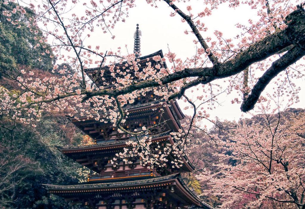 As floradas de cerejeiras mais bonitas em todo o mundo 04