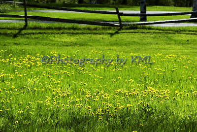 yellow dandelions in the green grass in the spring