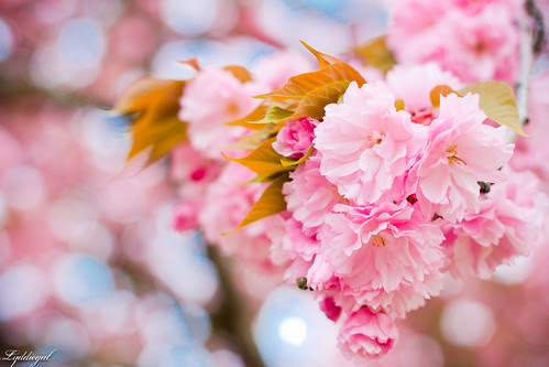 cherry blossoms-12.jpg