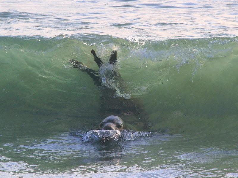 IMG_6478 Elephant Seal at Piedras Blancas