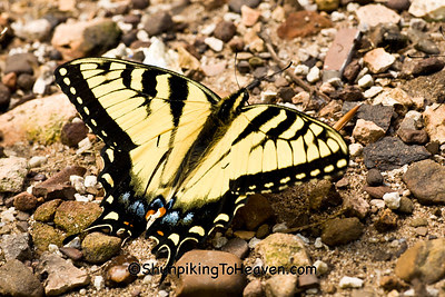 Eastern Tiger Swallowtail Butterfly, Newton County, Arkansas