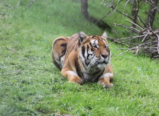 Tigers find new home at PAWS