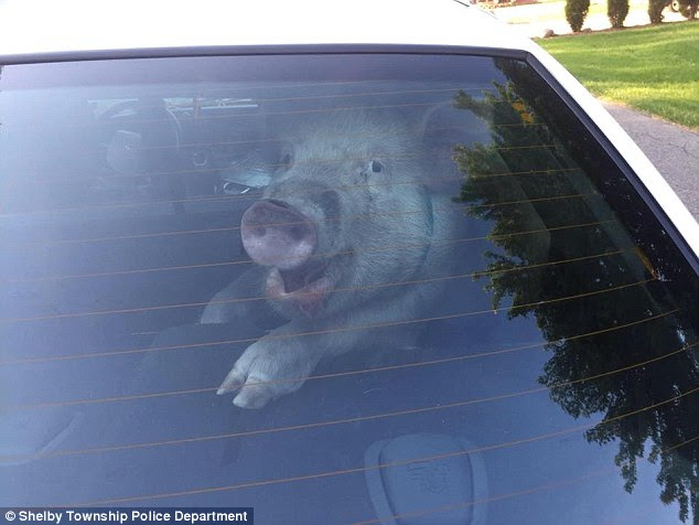 A pig was taken into custody by Shelby Township, Michigan police officers and placed in the back of patrol car where it released itself and the ordeal was captured in amusing photos (above)