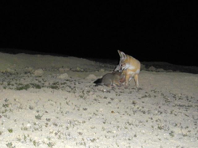 sj kit foxes