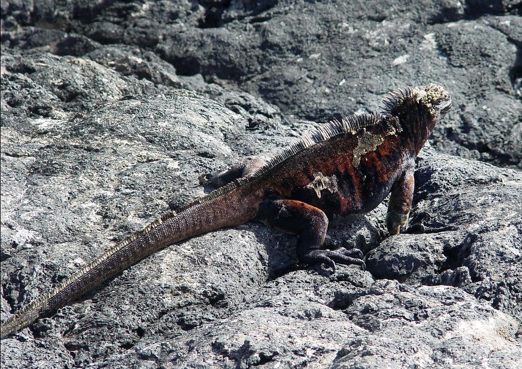 DSC00867 marine iguana