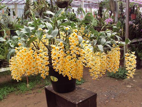 """Dendrobium thyrsiflorum. """"52 cachos"""""""