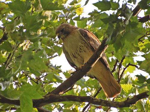 Tristan the Red-Tail