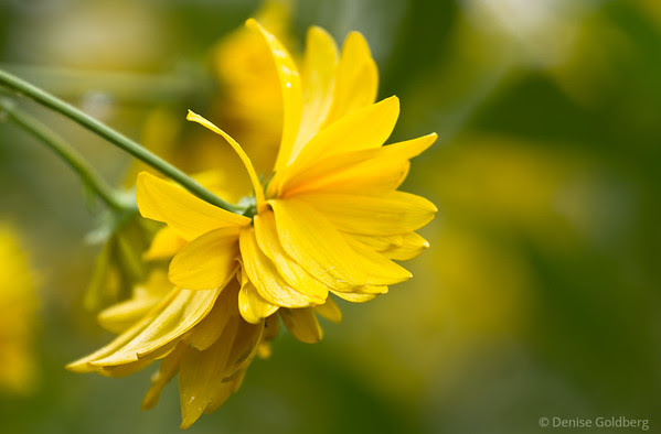 a splash of yellow, summer flower