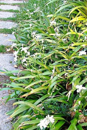 iris japonica sotto robinia(acacia pseduacacia)
