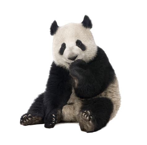 panda png transparent background
