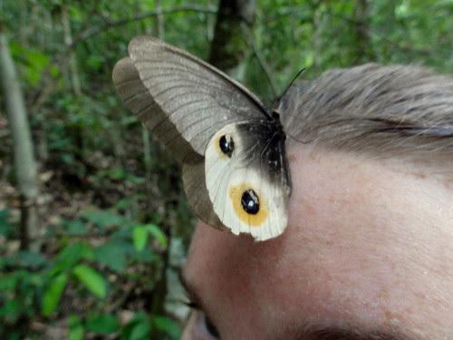 Vlinders @ Mulu national park